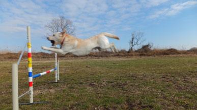犬は空を走る!!愛犬、昔の感覚を思い出す。