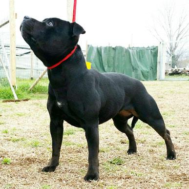 Cuban Cigar Ash - Allevamento Staffordshire Bull Terrier Villamagna Dogs