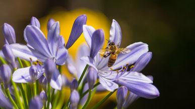 Biene, die Nektar sammelt