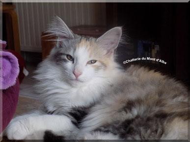 chat des forêts norvégiennes, black tortie silver blotched tabby et blanc, montauban, tarn et garonne, proche toulouse