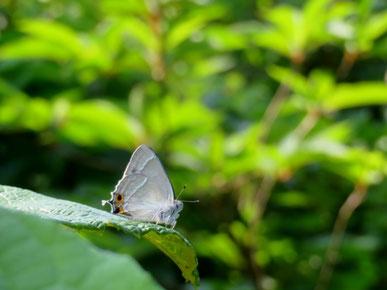 葉上でテリトリーを張るジョウザンミドリシジミ ♂。