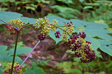 American Spikenard (Aralia racemosa) with ripening fruit.
