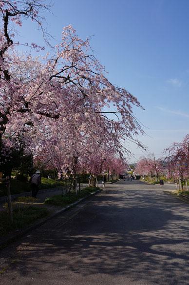 園内に咲くしだれ桜のトンネル まだ6分咲きくらいかな