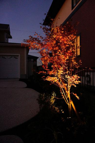 赤く燃えるようなモミジの紅葉をライトアップ。