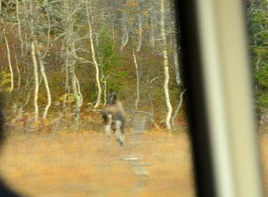 flüchtender Elch am 03.10.14 Korgfjellet