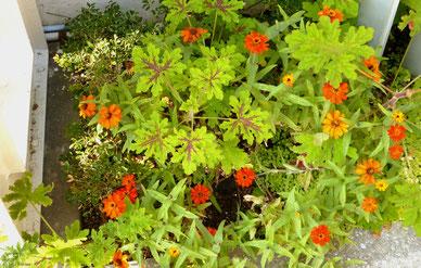 春~秋の花・ジニア(百日草)が、お正月にも咲く・・(同)。もしかすると、二百日草に?