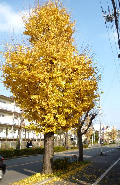 「いちょう」の黄葉がまだあちこちに(中央線桜ヶ丘区間)