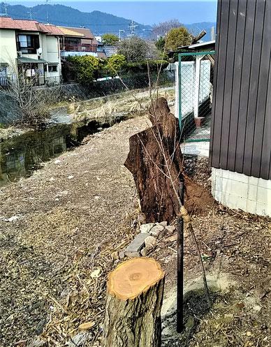"""田村橋横の伐採跡に植えられた""""桜の苗木""""。伐採にここの土地所有者が十分に同意していなかった証拠でしょう。"""