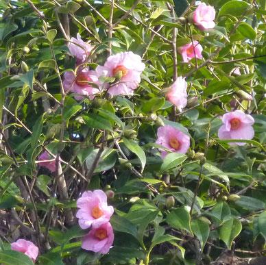 どんどん咲き出す椿の花(桜ヶ丘1丁目。新稲5丁目)