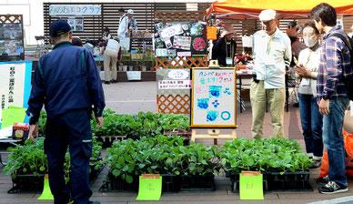 箕面駅前ステージ・・葉ぼたんの苗を配布