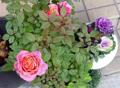 バラの花と葉ぼたんが同居(桜ヶ丘1丁目)