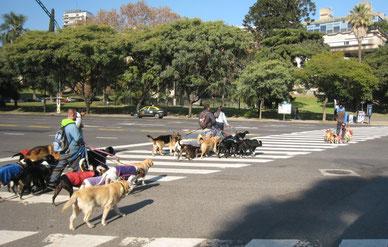 Paseadores cruzando la Avenida del Libertador... BUENOS AIRES.