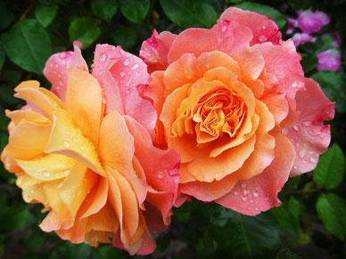 La Route de la Rose du Loiret