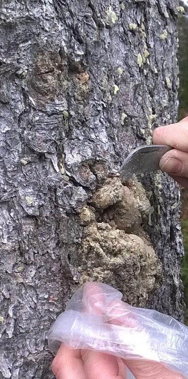 Harz Fichtenharz Baumharz Waldweihrauch sammeln Räuchern Räucherwerk Nadelhölzer