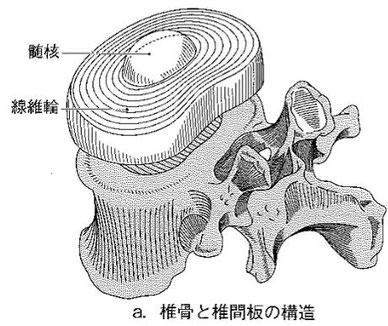 椎骨と椎間板の構造