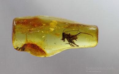 Inclusion in amber:   Orthoptera, Tettigonidae