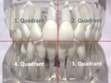 Die vier Quadranten im menschlichen Gebiss