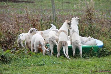 Artgerechte Barsoihaltung, Barsoi Welpen im Freien, Borzoi puppies in Germany, good borzoi bloodlines, Barsoi Züchter Nähe Schweiz/Luxemburg/Belgien/Niederlande!