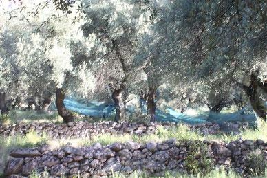 Lancone : présentation de l'oliveraie