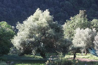 Les quatre saisons de l'olivier
