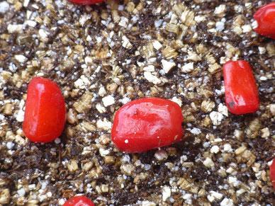 マイヅルテンナンショウの赤い果実の画像