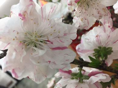 これは桜?? 先日活けてあるのをパチリ。開花宣言はしましたが、この辺りはまだ少ししか咲いてませんね・・
