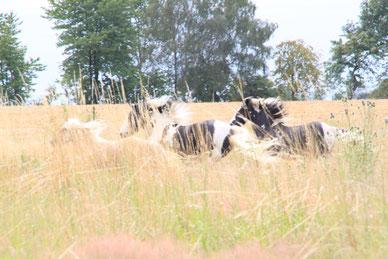 Freie Bewegung mit anderen Pferden auf der Wiese tut  der Psyche einfach gut!