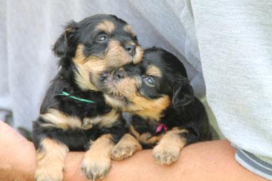 Havaneser- und Boston Terrier Welpen, Havaneser- und Boston Terrier Züchterin Rheinland-Pfalz/Neuerburg bei Bitburg/Trier/Luxemburg