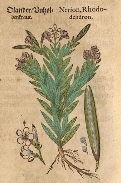 Olander/Unholdenkraut, Nerion/Rhododendron