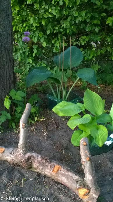 Unter dem Kirschbaum im Schattenbeet zwei erste Hostas und ein Baumstammstück