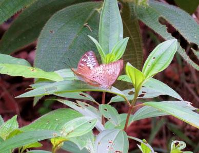 交尾中のペレーアコイナズマ(Tanaecia pelea)右が♂。