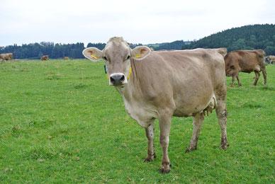 Foto einer Kuh von unterwegs