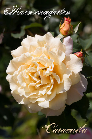 Rosen Rosenblog Hexenrosengarten Kordes Strauchrose abricot Caramella Rosiger Adventskalender