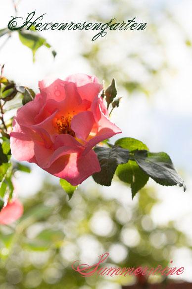 Rosen Rosenblog Hexenrosengarten Kletterrose Kordes Summerwine Rosiger Adventskalender