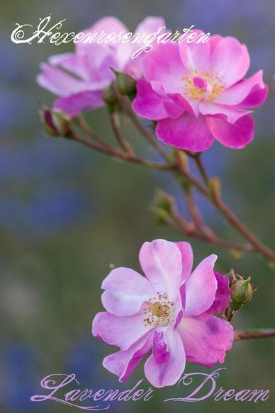 Rosen Rosenblog Hexenrosengarten Ilsink Kleinstrauchrose Bodendeckerrose pink lila reichblühend Rosiger Adventskalender