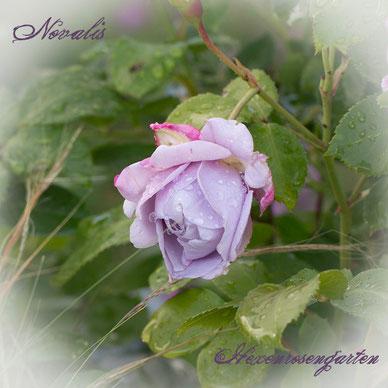 Rosen Hexenrosengarten blau Kordes Novalis