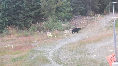 Schwarzbär auf Mountainbike-Strecke