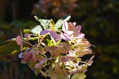 冬咲きの紫陽花
