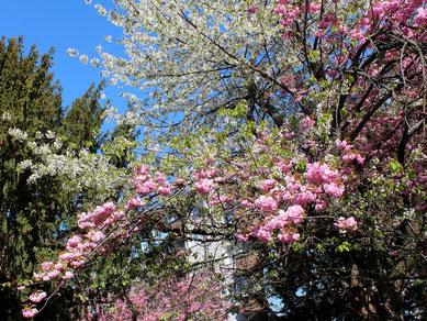 Japanischer Kirschbaum in Berlin mit hellrosa und weißen Blüten: Foto: Helga Karl am 13.4.2017