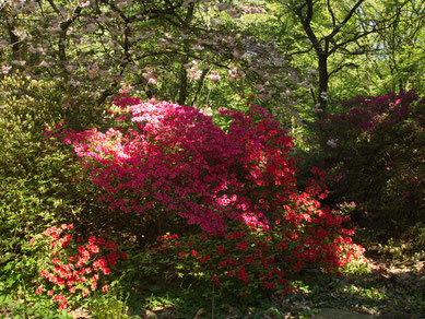 Frühling im Park: die Rhododendren blühen