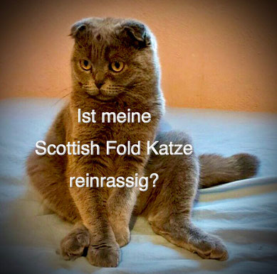 Scottish Fold Katze, Foto: © Iris