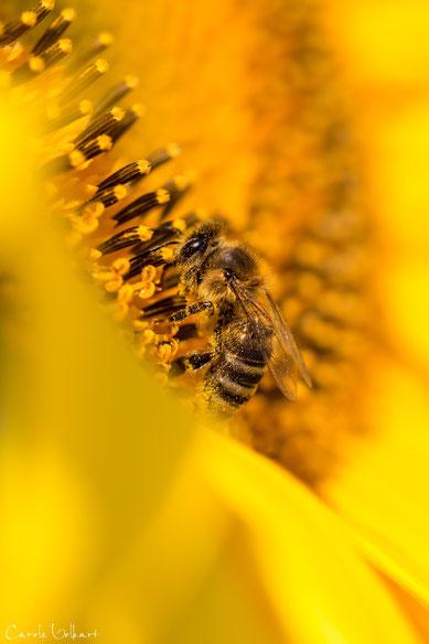 Biene auf Sonnenblume - gibt das dann Sonnenblumenhonig?