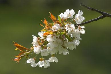 Frühling, Blüten