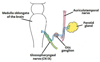innervation of the parotid gland