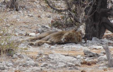 Quand le lion dort ...