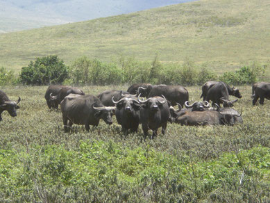 Buffalos on a Walking Tour in Arusha Nationalpark