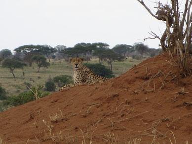 Cheetah in Tarangire Nationalpark
