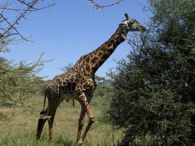Giraffe in Serengeti Nationalpark