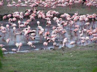Flamingos at Lake Victoria