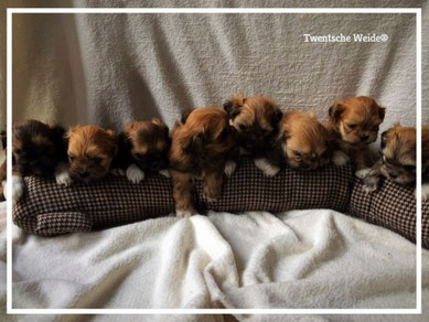 Lhasa Apso Puppies te koop, lhasa apso kennel